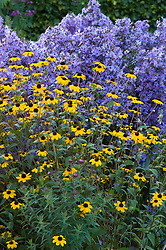 Rudbeckia triloba in front of Aster 'Little Carlow'