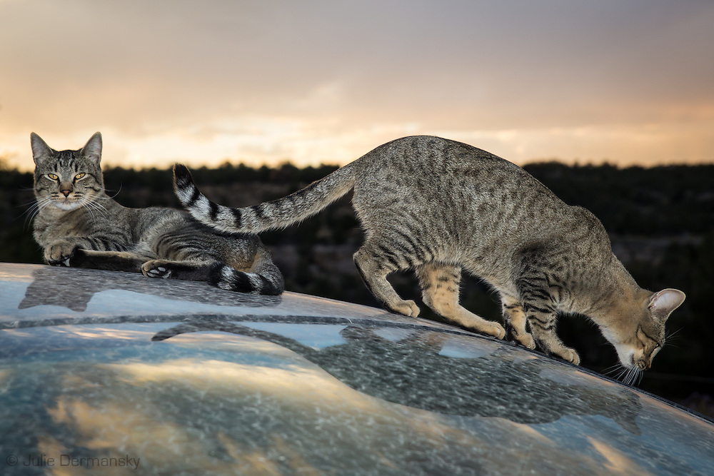 The Schreiber's cats on their  ranch in Blanco, New Mexico.