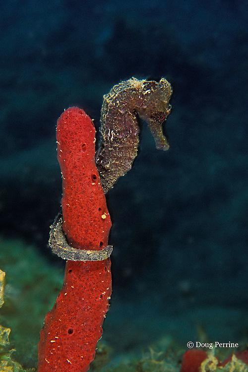 longsnout seahorse or slender sea horse, Hippocampus reidi, on red finger sponge, Dominica ( Caribbean Sea )