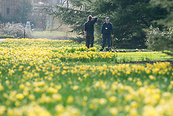 © Licensed to London News Pictures. 02/04/14 About 125 jobs could be cut as the Royal Botanic Gardens in Kew, west London, faces a £5m shortfall in revenue in the coming financial year. FILE PICTURE DATED 04/03/2014. KEW, UK. Staff prepare floral displays.  Visitors to Royal Botanic Garden's Kew in Surrey, walk between daffodils and giant fungi sculpture by willow artist Tom Hare that line the Broad Walk, today 4th March 2014. Warm weather is expected to continue into the weekend as spring arrives in the UK. Photo credit : Stephen Simpson/LNP