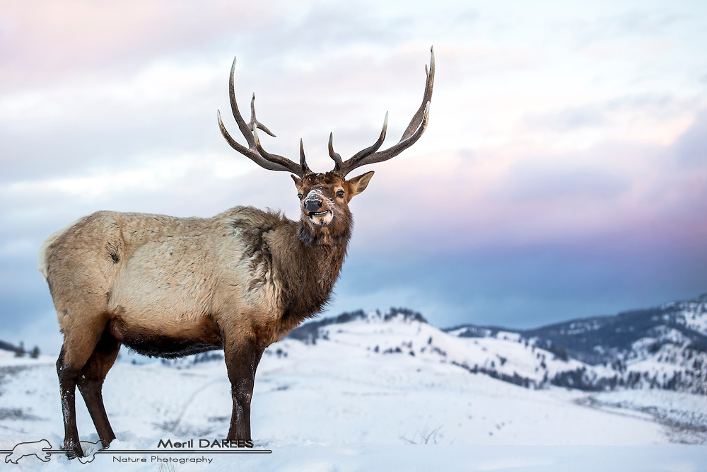 Chewing elk on a morning light. Yellowstone National Park. USA.