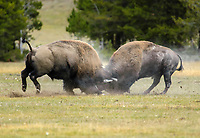 American Bison Bison bison males battling during rut Yellowstone National Park Wyoming USA