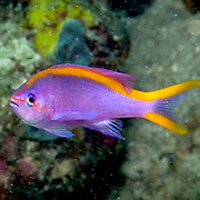 Purple Anthias inhabit reefs. Picture taken Raja Lembeh Straits, Sulawesi, Indonesia.
