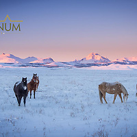 horses paw thought the snow on the blackfeet indian reservation glacier national park