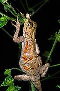 Agamid lizard<br /> Lango Bai<br /> Republic of Congo (Congo - Brazzaville)<br /> AFRICA