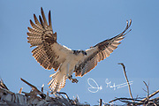An osprey in flight, comes in to land at its nest.