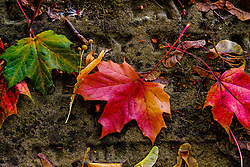 Autumn leaves lying on an old gravestone at Melrose Abbey, Melrose. Scottish Borders<br /> <br /> (c) Andrew Wilson   Edinburgh Elite media