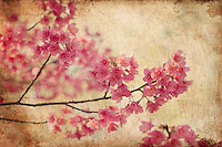 """Taiwan cherry blossoms - stylized into creative and """"vintage"""" botanical art."""