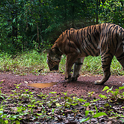 Indochinese tiger (Panthera tigris corbetti) . Thailand has the largest population of Indochinese tigers  in Southeast Asia, estimated at 200.