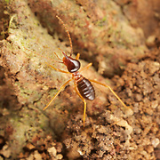 Nasute termites (Hospitalitermes sp) in Khao Yai National Park, Thailand. Unique among termites are the soldiers of the Nasutitermes genus. These are not armed with mandibles but a  syringe like contraption which squirt out a sticky pungent smelling liquid that immobilizes ants. This defense mechanism is so effective against ants that sub genus of Nasutitermes lived in unsealed nest and forages in long open columns unmolested by their main enemy, ants.