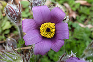 Pasque flower (Pulsatilla vulgaris - formerly Anemone pulsatilla) blooming in a backyard garden after a spring rain. Pasque flowers are usually some of the first blooms to appear in the spring garden after bulbs such as daffodils and bluebells.
