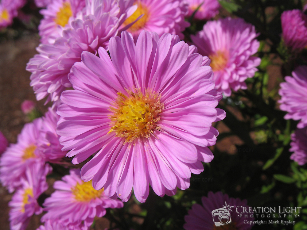 pink aster flowers  creation light photography, Natural flower