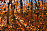 Hardwood forest in autumn<br /> Parry Sound<br /> Ontario<br /> Canada