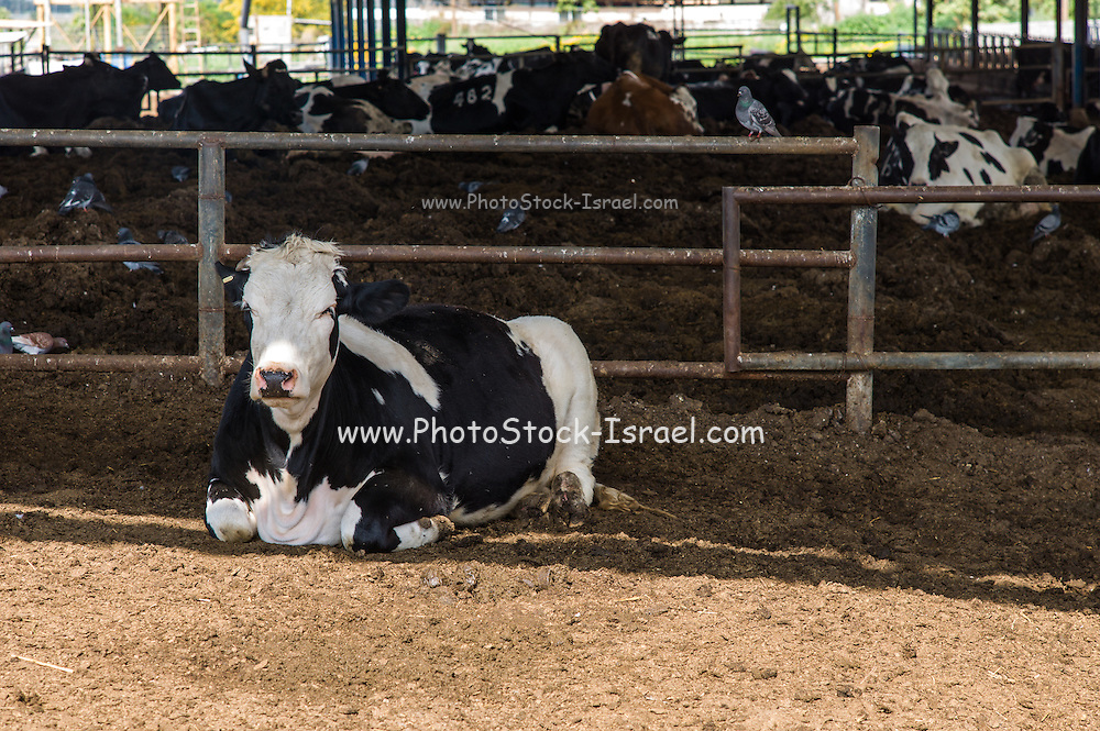 Cows in a cowshed on a dairy farm. Photographed in Israel