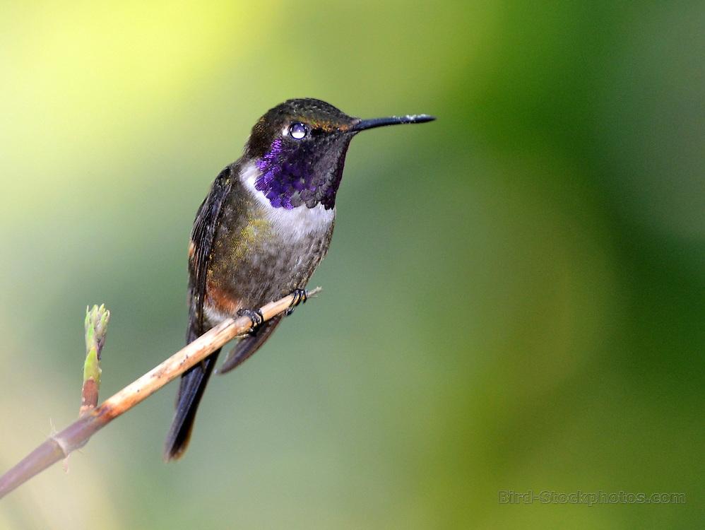 Purple-throated Woodstar, Calliphlox mitchellii, Ecuador, by Forrest Rowland