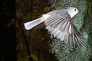 Tufted titmouse (Parus bicolor) flying from a feeder.