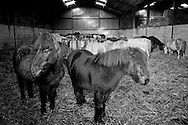 Ellington Colliery pit ponies stabled during the 1984-85 miners strike. Dec 1984