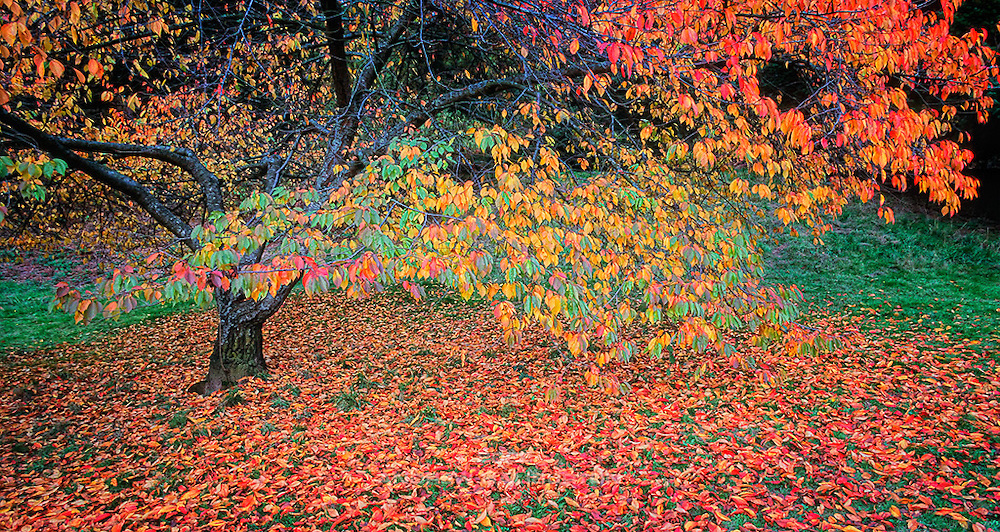 The beautiful red and yellow leaves that fall from deciduous trees are a splendid sign of Autumn.  Located on an extinct volcanic cinder cone, and designed in 1909 by Frederick Law Olmsted and John Charles Olmsted, this urban park celebrates its centennial in 2009/2010, at a time when the future of the beloved open water reservoirs within the park is threatened by new EPA regulations.  Mount Tabor Park, Portland, Oregon, USA.  Nikon F4, 20-35/2.8D. Fuji RVP 50.  Photo: November 2001.