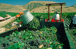Grape Harvest Vineyard Agriculture