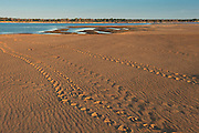 Giant River Turtle Tracks (Podocnemis expansa)  <br /> CITES II VULNERABLE.<br /> Orinoco River, 110 Km north of Puerto Ayacucho. Apure Province, VENEZUELA. South America. <br /> L average 90cm, Wgt 30-45kg. Largest fresh water river turtle in South America. Eggs round & 42mm. 90-100 per clutch. 6-8 weeks incubation. Females come ashore to sun themselves for several days before laying to ......  They lay when the river is at its lowest. They are Herbacious and live in white or black water rivers moving into flooded forests of the Amazon during the wet season to feed on fallen seeds.<br /> HABITAT: exposed.RANGE: Amazonia, Llanos & Orinoco of Colombia, Venezuela, Brazil, Guianas, Ecuador, Peru & Bolivia.<br /> Monitored from Base Camp of the Protected area of the Giant River Turtle (& Podocnemis unifilis). (Refugio de Fauna Sylvestre, Zona de Protecion de Tortuga Arrau, RFSZPTA)<br /> Ministery of Environment Camp which works in conjuction with the National Guard (Guardia Nacional) who help enforce wildlife laws and offer security to camp staff. From here the ministery co-ordinate with other local communities along the river to hand-rear turtles for the first year of their life and then release them. The ministery pays a salary to one person in each community that participates in the project as well as providing all food etc. The turtles are protected by law and there is also a ban on the use of fishing nets in the general area. During the egg laying season staff sleep on the nesting beaches to monitor the nests.  All nests layed on low lying ground are dug up and relocated to an area not likely to flood. They are then surrounded by a net to catch all hatchlings who will then spend the first year of their life in captivity to increase their chances of survival. Biometric data is taken from any female they find that has layed eggs and is returning to the river.