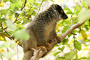 Madagascar, Common Brown Lemur (Eulemur fulvus) on a tree