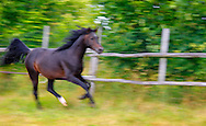 Dark bay horse running.