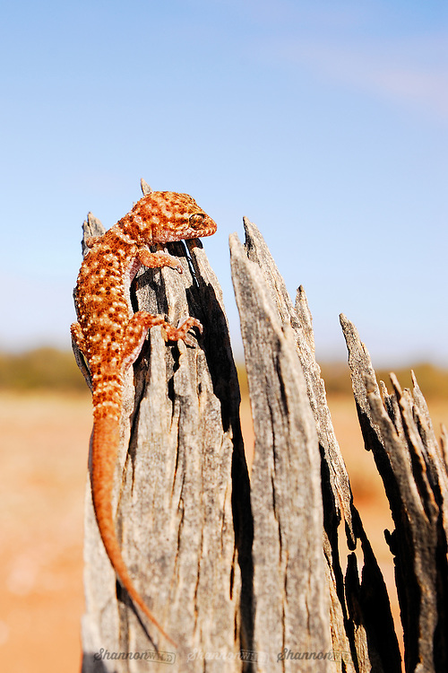 Bynoe's Gecko (Heteronotia binoei), is a species of lizard endemic to Australia. It occurs across much of the country.  Also known as Binoe's Prickly Gecko..It is one of a small number of vertebrate species that are known to reproduce by parthenogenesis.