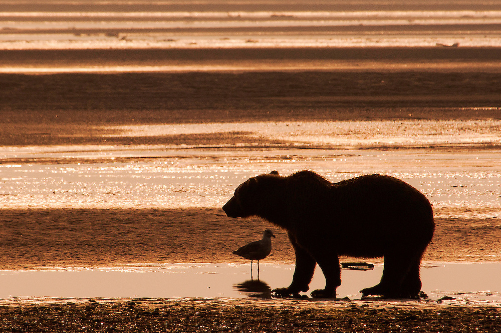 USA, Katmai National Park (AK).Silhouetted Coastal brown bear (Ursus arctos) at sunset