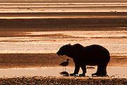 USA, Katmai National Park (AK).Silhouetted Coastal brown bear (Ursus arctos) at sunset
