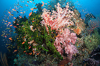 Profuse Coral Growth and Anthias<br /> <br /> Shot in Indonesia