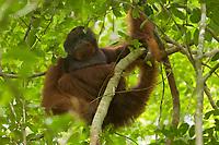 Adult male Bornean Orangutan <br /><br /><br />Codet