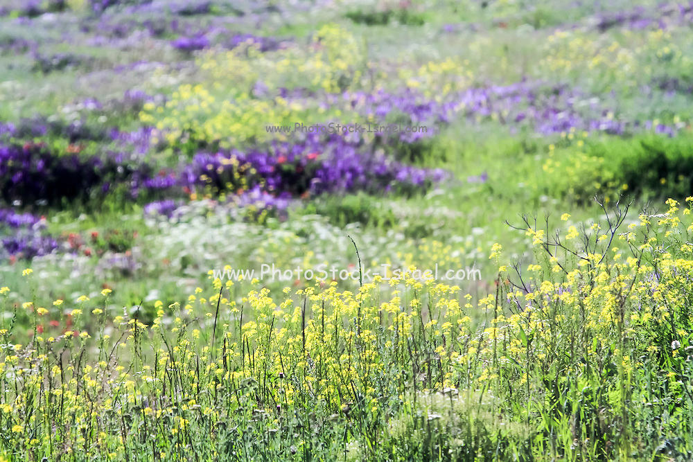 A colourful meadow of wildflowers. Photographed in Armenia
