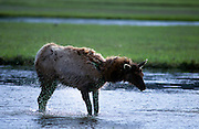 Elk (Cervus Canadensis) shaking off water, Madison Plateau, Yellowstone National Park, Wyoming ..Subject photograph(s) are copyright Edward McCain. All rights are reserved except those specifically granted by Edward McCain in writing prior to publication...McCain Photography.211 S 4th Avenue.Tucson, AZ 85701-2103.(520) 623-1998.mobile: (520) 990-0999.fax: (520) 623-1190.http://www.mccainphoto.com.edward@mccainphoto.com.