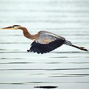 A Blue Heron at Mercer Lake, Caspersen Rowing Center, West Windsor, New Jersey. USA. 27th June 2013