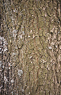 Downy Oak  Quercus pubescens (Fagaceae) HEIGHT to 24m <br /> Similar to Pendunculate Ok, forming a large, sturdy tree under good growing conditions. BARK Deep-grey bark, grooved with numerous deep fissures and small plates or rough scales. BRANCHES Twigs and buds are covered with greyish downy hairs, buds looking more orange-brown beneath the down. LEAVES Smaller than Pedunculate Oak, to 13cm long and 6cm wide, with shallower, forward-pointing lobes and very hairy petioles. Young leaves densely downy at first but become smoother and grey-green above when mature. REPRODUCTIVE PARTS Catkins appear in late May; acorns form in early autumn. Acorns are sessile, borne in stalkless shallow cups about 1.5cm deep, and covered in closely packed downy scales. STATUS AND DISTRIBUTION Native of Europe, occasionally planted here.
