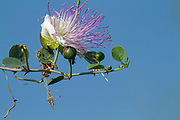 flowering Common Caper (Capparis spinosa) shrub. On blue sky background. Photographed in Israel in July