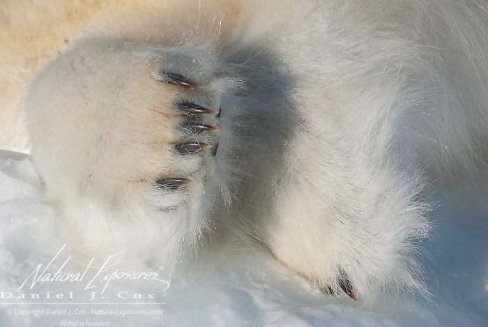 The paw of a polar bear (Ursus maritimus) showing its claws. Kaktovik, Alaska.