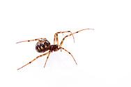 Cobweb Spider (Steatoda triangulosa) - female<br /> TEXAS: Williamson Co.<br /> Cedar Park<br /> 25-Jan-2015<br /> J.C. Abbott &amp; K.K. Abbott