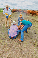 Rancher, John L. Moore, brands at his cattle branding, as daughter Andrea Ferguson castrates, Luke Dighans, Logan Peila wrestle calves, Lazy TL Ranch, north of Miles City, Montana