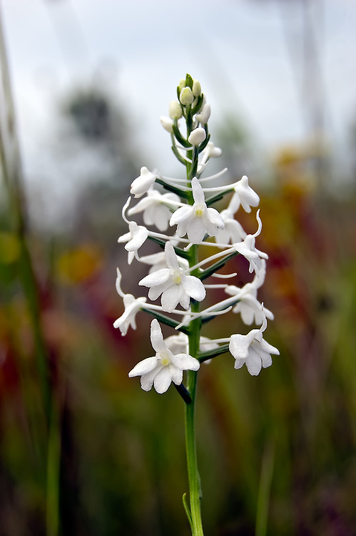 I hit the jackpot in the bog where I photographed this beautiful snowy orchid.... there were upwards of 3000 or more in bloom within an area the size of a football field! A week later I only found three of them that still had flowers. Timing is everything!