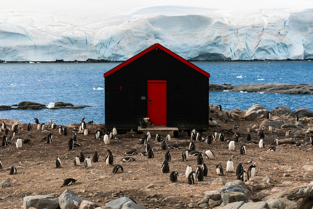 A Gentoo penguins surround a shed on Friday, Feb. 9, 2018 in Fort Lockroy, Antartica. (Photo by Ric Tapia)