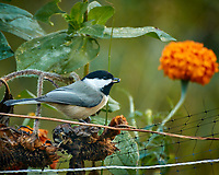 Black-capped Chickadee with a sunflower seeds. Autumn Backyard Nature in New Jersey. Image taken with a Nikon 1 V3 camera and 70-300 mm VR telephoto zoom lens. (ISO 160, 300 mm, f/5.6, 1/15 sec).