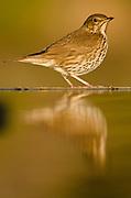 Mistle thrush {Turdus viscivorus} near water pond, Alicante, Spain, Europe