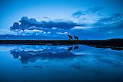 Horses reflecting in a pond, erupting volcano in Eyjafjallajökull