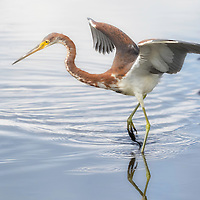 Tricolored heron, Egretta tricolor, performs animated dance while fishing at Merrritt Island NWR on Florida's Atlantic coast.