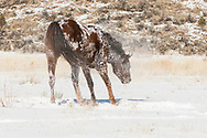 American Quarter Horse shaking out after rolling in fresh snow,  © 2009 David A. Ponton [Prints to 8x12, 16x24, 24x36 or 40x60 in. with no cropping]