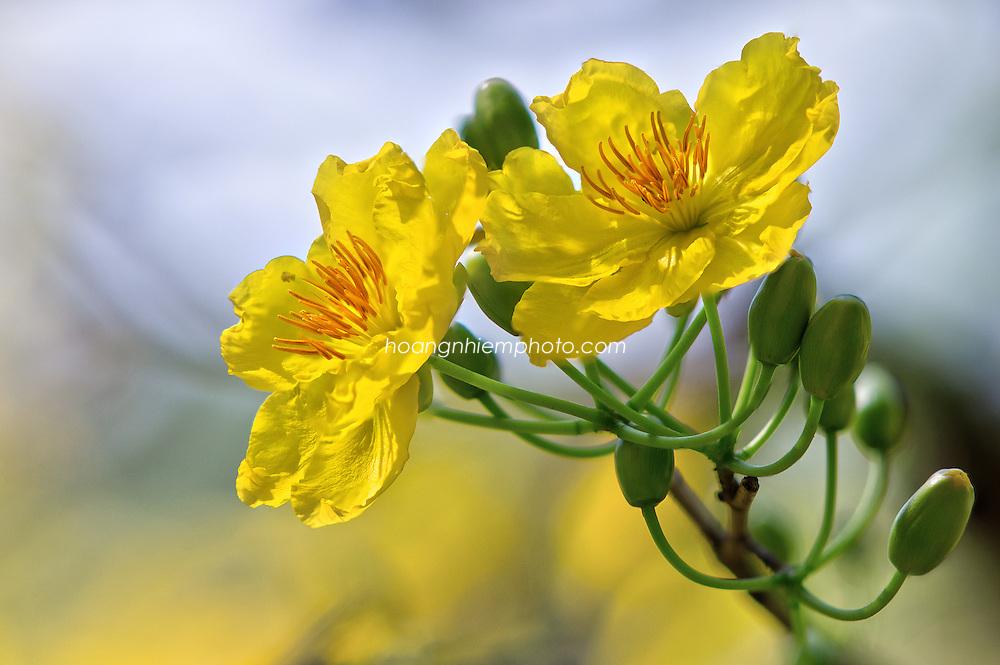 Vietnam Images-flower-nature Hoa mai vàng -Hoàng thế Nhiệm