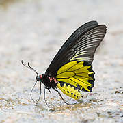Troides aeacus, the golden birdwing, is a large butterfly belonging to the swallowtail (Papilionidae) family.