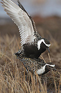 American Golden Plover - Pluvialis dominica - Mating pair