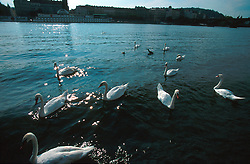 CZECH REPUBLIC PRAGUE JUL00 - Swans on the Vltava river in central Prague.. . jre/Photo by Jiri Rezac.  . © Jiri Rezac 2000. . Tel:   +44 (0) 7050 110 417. Email: info@jirirezac.com. Web:   www.jirirezac.com